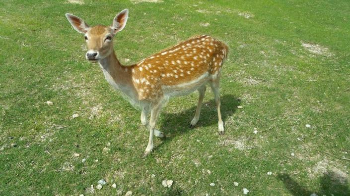 deer-873067_960_720